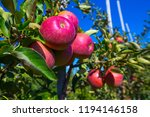 ripe fruits of red apples on... | Shutterstock . vector #1194146158