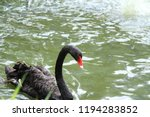 black swan in the pond  | Shutterstock . vector #1194283852