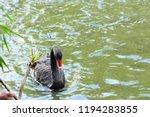 black swan in the pond  | Shutterstock . vector #1194283855