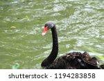 black swan in the pond  | Shutterstock . vector #1194283858