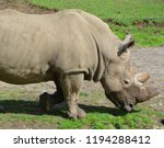 the white rhinoceros or square... | Shutterstock . vector #1194288412