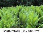 green leaf of fernery in forest.... | Shutterstock . vector #1194303295