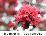 sakura flowers in botanic... | Shutterstock . vector #1194306052