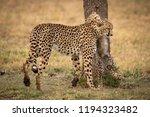 cheetah cub on hind legs... | Shutterstock . vector #1194323482