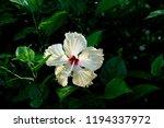 white flower background   Shutterstock . vector #1194337972