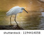 Snowy Egret (Egretta thula) on a lakeshore in Oklahoma City