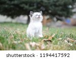 kitten cat cute | Shutterstock . vector #1194417592