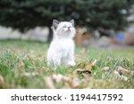 kitten cat cute | Shutterstock . vector #1194417592