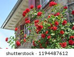 red rosebush in front of an...