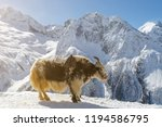 spotted shaggy yak stands on... | Shutterstock . vector #1194586795