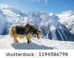 spotted shaggy yak is standing... | Shutterstock . vector #1194586798