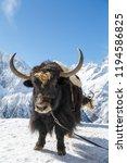 big shaggy black yak is... | Shutterstock . vector #1194586825