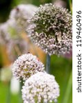 Small photo of Onion flower heads, Allium cepa, with lots of insects on them in summer