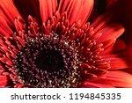 red gerbera flower | Shutterstock . vector #1194845335
