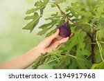 Woman Picking Ripe Fruit From...