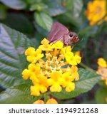 Small Skipper Butterfly ...