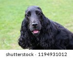 Beautiful Black Cocker Spaniel...