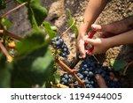 harvest of merlot in tuscany | Shutterstock . vector #1194944005