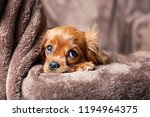 Stock photo cute puppy lying on the warm blanket 1194964375