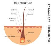the structure of the hair ...   Shutterstock .eps vector #1194999625