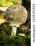 a joung shaggy parasol between... | Shutterstock . vector #1195191025