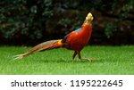 Colorful Golden Pheasant...
