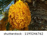 fruits  which still grow on a... | Shutterstock . vector #1195246762