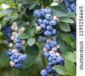 blueberries   delicious ... | Shutterstock . vector #1195256665