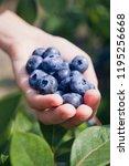 blueberries   vaccinium... | Shutterstock . vector #1195256668