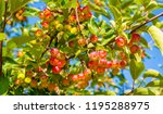 Siberian Crabapple Or Chinese...