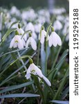 white spring snowdrops.... | Shutterstock . vector #1195295188