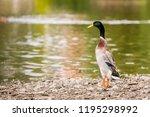 indian runner duck  anas... | Shutterstock . vector #1195298992