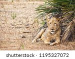 picture of a lion lying under a ... | Shutterstock . vector #1195327072