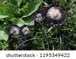 shaggy mane  coprinus comatus ... | Shutterstock . vector #1195349422