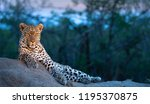 leopard scans the savannah for... | Shutterstock . vector #1195370875