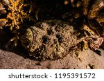 scorpion fish on the seabed  in ... | Shutterstock . vector #1195391572