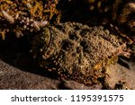 scorpion fish on the seabed  in ... | Shutterstock . vector #1195391575
