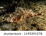 scorpion fish on the seabed  in ... | Shutterstock . vector #1195391578