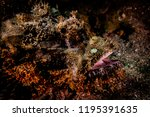 scorpion fish on the seabed  in ... | Shutterstock . vector #1195391635