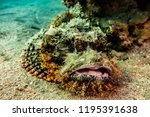 scorpion fish on the seabed  in ... | Shutterstock . vector #1195391638