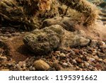 scorpion fish on the seabed  in ... | Shutterstock . vector #1195391662