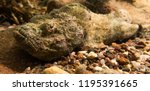 scorpion fish on the seabed  in ... | Shutterstock . vector #1195391665