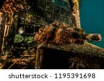 scorpion fish on the seabed  in ... | Shutterstock . vector #1195391698