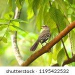 northern mocking bird singing... | Shutterstock . vector #1195422532