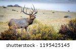 elk in rocky mountains