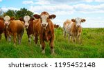 An Audience Of Cattle