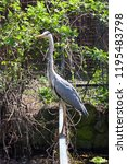 grey heron  ardea cinerea  is a ... | Shutterstock . vector #1195483798