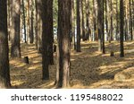 sunny pine forest in autumn.... | Shutterstock . vector #1195488022