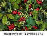 holly  ivy and mistletoe... | Shutterstock . vector #1195558372