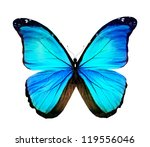 Morpho Turquoise Butterfly  ...